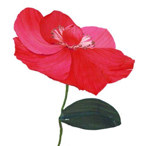 Cornhusk Poppy Flower